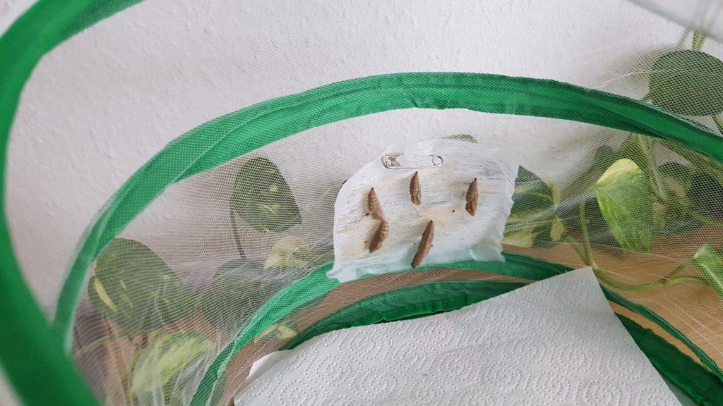 Schmetterlings-Puppen in Voliere